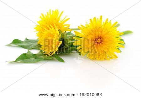 Three dandelions with leaves isolated on white background.