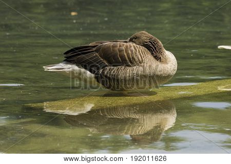 View on a beautiful Greylag Goose at the Lake. Greylag Goose (Anser). Animals in the Wild. Close-up of a sleeping Greylag Goose in the Morning.