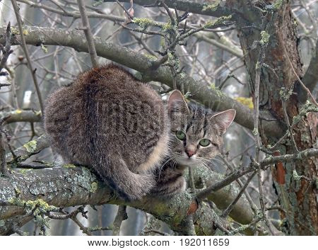 .Fluffy cat on the tree. Striped hunter with green eyes. Tail. The paw. an ear. Us. careful.....