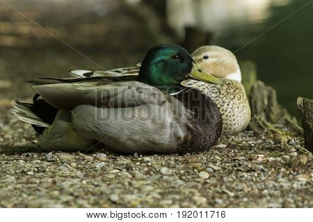 View on two beautiful Ducks at the Lake. Mallard Ducks (Anas platyrhynchos). Animals in the Wild. Close-up of relaxed Ducks in the Morning.