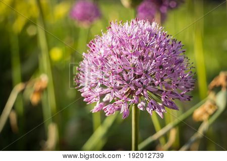 Persian Onion (also known as allium or purple sensation) in bloom close-up