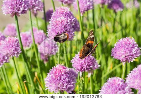 Bumble bee and red admiral drinking nectar from chive blossoms shallow depth of field macro