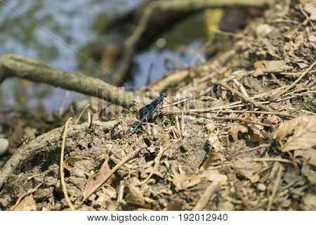 View on a Beautiful demoiselle in the Morning Light.  Close-up of a blue Dragonfly at the Lake. Dragonflies (Calopteryx virgo).  A Dragonfly sits on the Ground