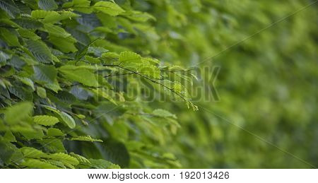 In the hedge there are many thin branches and green leaves against the background of solid greenery.