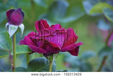 A red rose flower on a branch stump with leaves on the background of a bud of an undisclosed flower.