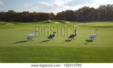 Rare show - four swans (couple white and two gray swans) follow step by step one by one imitating group
