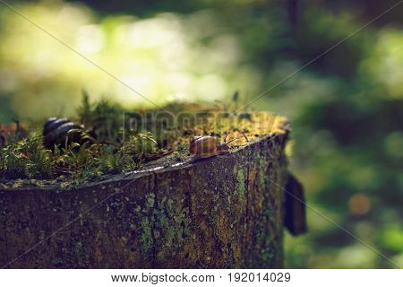 A Small Snail Crawls Along The Edge Of A Large Stump In The Forest In The Early Morning, In The Summ