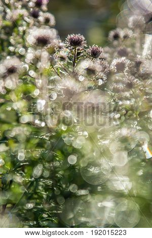 Flowers in the morning in autumn. The dew glistens in the sunlight like big diamonds.