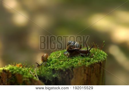 Two Snails Crawl In Different Directions In The Early Morning On A Stump With Moss In The Woods
