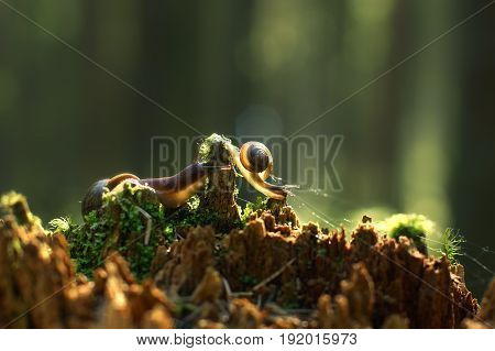 Two Snails Creep Along The Broken Red Stump With The Morning Forest, Are Illuminated By The Sun