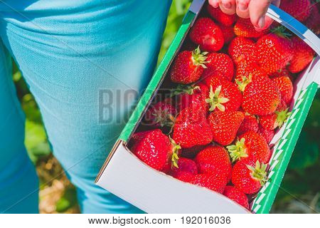 Woman holding carton box basket with delicious fresh picked strawberry.