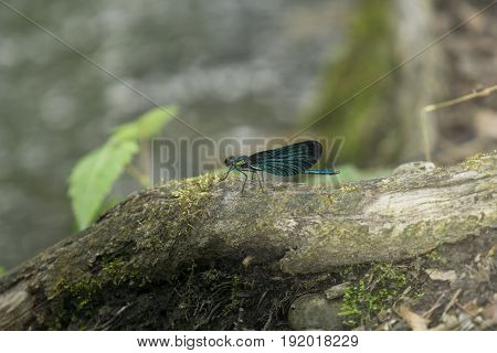 View on a Beautiful demoiselle in the Morning Light.  Close-up of a blue Dragonfly in the Forest. Dragonflies (Calopteryx virgo).  A Dragonfly sits on a Branch.