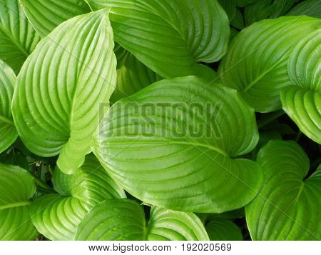 Hosta leafs - the bright green background