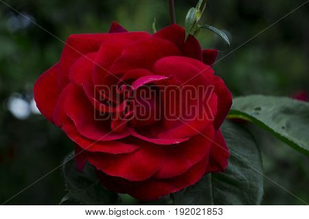red roses flowers in the garden beautiful flowers.
