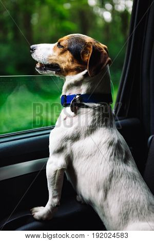 Small dog breed Jack Russell Terrier looks out the open window of the bus. Closeup