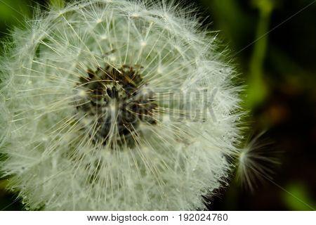 Dandelion close up after a rain photo