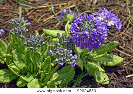 Mountain Wild violet flowers in springtime. Nepal, Annapurna national park.