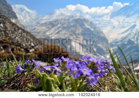 Field, meadow of violet flowers with Rocky Mountains in background. Springtime in Nepal, Annapurna national park, Annapurna Base Camp track.