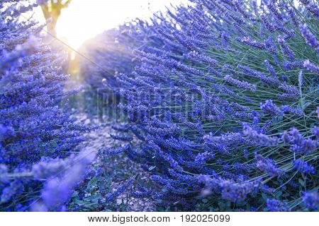 Lavender field at sunset Valensole Plateau Provence France