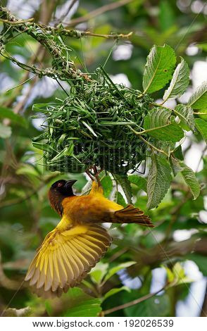 Male weaver bird hanging from a nest whilst building it with its wings spread and with trees in the background.