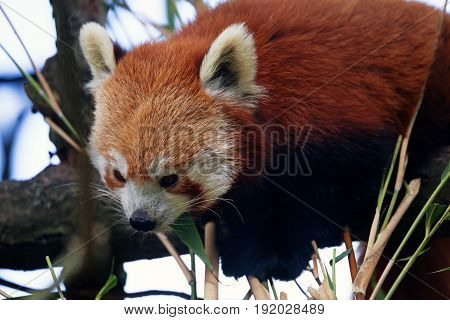Cute red panda sitting on a branch eating a leaf and leaning on some bamboo. Selective focus with space for text.