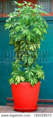 Schefflera flower plant. Evergreen plant. Stock photo