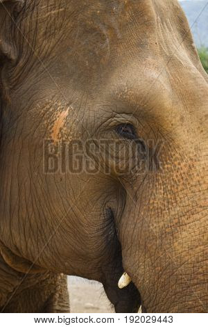 Close-up on an adult female Asian elephant in Chiang Mai Thailand.
