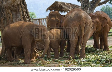 A herd of Asian elephants in Chiang Mai Thailand.
