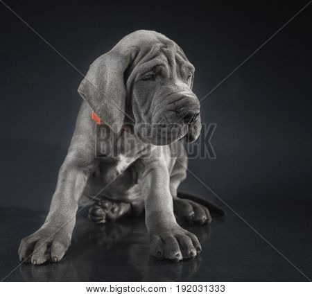 Blue Great Dane puppy purebred waiting patiently with a dark background