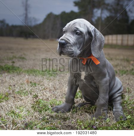 Purebred Great Dane puppy with gray hair sitting on a field