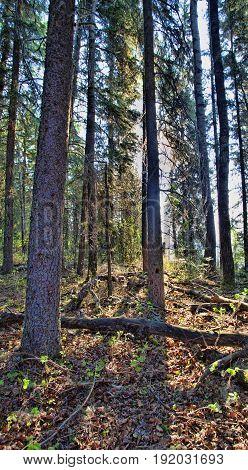 Tall trees in the daytime near Dore Lake in Saskatchewan