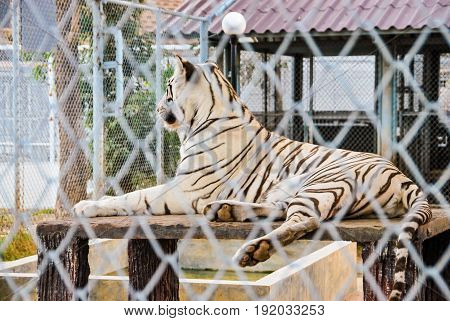Big Tiger in Steel Wire Mesh Fence [Panthera Tigris]