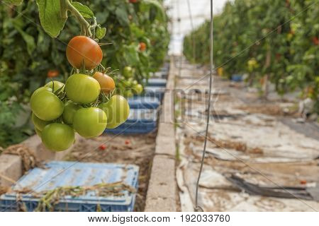 Tomato plants growing inside of an industrial greenhouse