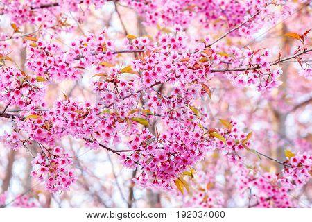 Pink flower Wild Himalayan cherry blooming (Prunus cerasoides)