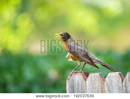 American robin (Turdus migratorius) perched on wood fence. Natural green background with copy space.