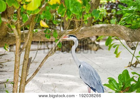 Egret Walking On The Beach In Adaaran Island,maldives
