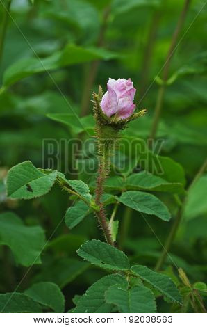 Closeup of white and pink wild rose with green leaves