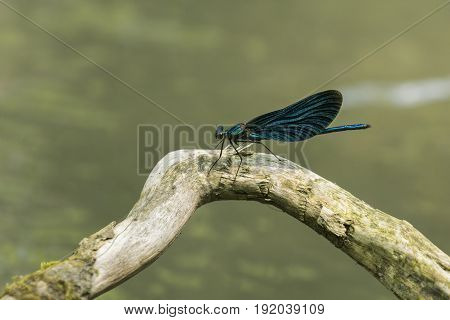 View on a Beautiful demoiselle in the Morning Light. Close-up of a blue Dragonfly at the Lake. Dragonflies (Calopteryx virgo). A Dragonfly sits on a Branch.
