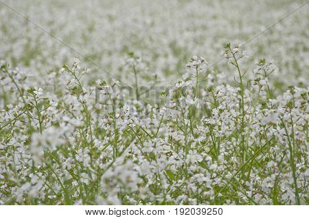 Background Meadow of white delicate flowers close up