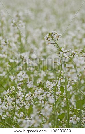 Meadow of white delicate flowers close up