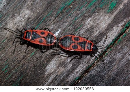 Two red soldier bug on a wooden table. Animals wildlife.