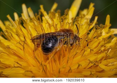 Bumblebee gathers nectar from a dandelion flower. Closeup.