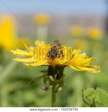 The insect sits on a dandelion close up