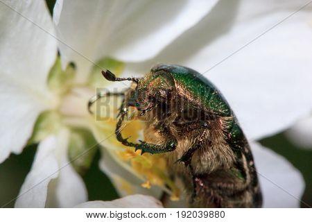 Cetonia aurata eats apple tree flowers. Pest of plants.