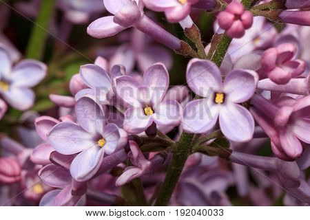 Blossoming of young liliac in the spring. Beautiful in nature.