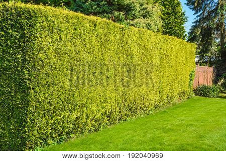 High hedge and green lawn along back yard of residential house