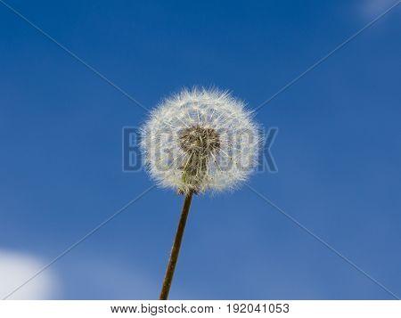 Lightness. White dandelion on background of blue skyes