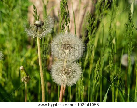 Floral drama: Odd man out. Three white dandelions on green background, one almost bold