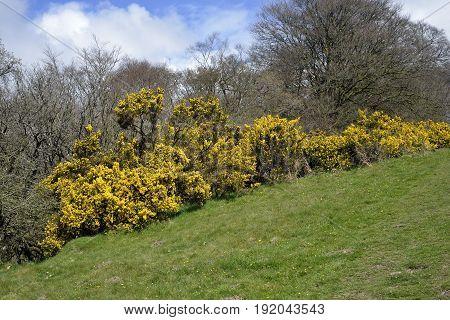 Common Gorse - Ulex europaeus Bushes in flower on Exmoor