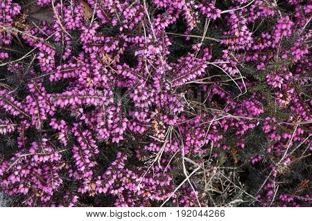 Violet Heather Flowers